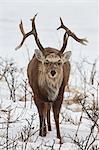 Sika deer, Cervus nipponin, in snow in winter.