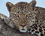Leopard (Panthera pardus), Serengeti National Park, Tanzania, East Africa, Africa