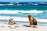 Australian Sea Lions (Neophoca cinerea), on Seal Bay, Kangaroo Island, South Australia, Australia, Pacific