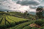 Longjing Tea fields in the hills near West Lake, Hangzhou, Zhejiang, China, Asia