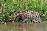 A jaguar (Panthera onca) walking along Cuiaba River bank, Pantanal, Mato Grosso, Brazil, South America