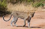 A leopard (Panthera pardus) walks along a road, Samburu National Reserve, Kenya, East Africa, Africa