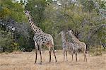 Masai giraffe (Giraffa camelopardalis tippelskirchi), adult and two juveniles, Selous Game Reserve, Tanzania, East Africa, Africa