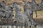 Group of common zebra (plains zebra) (Burchell's zebra) (Equus burchelli) drinking, Mikumi National Park, Tanzania, East Africa, Africa