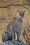 Leopard (Panthera pardus), Ruaha National Park, Tanzania, East Africa, Africa