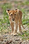 Lion (Panthera leo) cub, Selous Game Reserve, Tanzania, East Africa, Africa