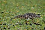 Madagascar squacco heron (Madagascar pond-heron) (Malagasy pond-heron) (Ardeola idae), Selous Game Reserve, Tanzania, East Africa, Africa