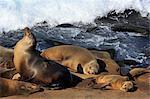 Sea lions, La Jolla, San Diego, California, United States of America, North America