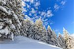 Snowy woods, Monte Olano, Valgerola, Valtellina, province of Sondrio, Lombardy, Italy