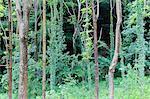 Trees covered with ivy. Berbenno di V.na, Valtellina, Lombardy, Italy.