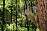 The grey-headed woodpecker feeds its young, Trentino Alto-Adige, Italy
