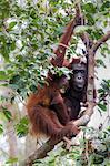 Bornean Orangutan, pongo pygmaeus, Tanjung Puting National Park, central Kalimantan, Borneo, Indonesia, Asia