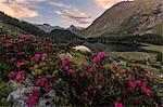 Rhododendrons at Lake Cavloc at sunrise, Maloja Pass, Bregaglia Valley, canton of Graubünden, Engadine,Switzerland