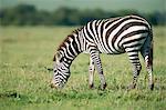 Zebra, Masai Mara, Kenya, East Africa, Africa