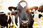 Domestic cow looking at camera
