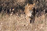 Lioness (Panthera leo) in grassland, Savuti, Chobe National Park, Botswana
