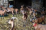 Many Goats