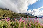 Epilobium wildflowers on lakeshore, Maloja Pass, Bregaglia Valley, Engadine, Canton of Graubunden (Grisons), Switzerland, Europe