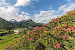 Rhododendrons in bloom, Maloja, Bregaglia Valley, Engadine, Canton of Graubunden (Grisons), Switzerland, Europe