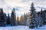 Snowcapped trees in Dolomites, Cortina d' Ampezzo, Belluno, Veneto, Italy