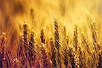 Golden ears of wheat in field.