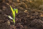 Corn seedling in soil.