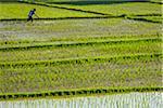 Balinese farmer spraying rice field on a sunny day in Ubud District in Gianyar, Bali, Indonesia