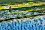 Balinese farmer working in shaded rice field in Ubud District in Gianyar, Bali, Indonesia