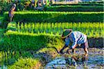 Balinese farmers working in a rice field in Ubud District in Gianyar, Bali, Indonesia