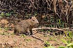A bay capybara (Hydrochoerus hydrochaeris), Porto Jofre, Mato Grosso, Pantanal, Brazil, South America