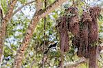 A yellow-rumped cacique (Cacicus cela) nest near Porto Jofre, Mato Grosso, Brazil, South America