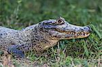 An adult yacare caiman (Caiman yacare), head detail, Pousado Alegre, Mato Grosso, Brazil, South America