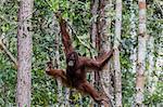 Young Bornean orangutan (Pongo pygmaeus) at Camp Leakey, Borneo, Indonesia, Southeast Asia, Asia