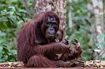 Mother and baby Bornean orangutan (Pongo pygmaeus), Camp Leakey, Borneo, Indonesia, Southeast Asia, Asia