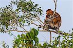 Female proboscis monkey (Nasalis larvatus) with baby, Tanjung Puting National Park, Kalimantan, Borneo, Indonesia, Southeast Asia, Asia