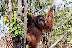 Reflection of wild male Bornean orangutan (Pongo pygmaeus), Buluh Kecil River, Borneo, Indonesia, Southeast Asia, Asia