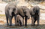 African elephant (Loxodonta africana) drinking at river, Chobe River, Botswana, Africa