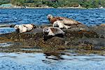Seals basking on rocks near Garinish Island, Shrone, Beara Peninsular, Wild Atlantic Way, County Cork, Munster, Republic of Ireland, Europe