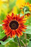 Red sunflower.