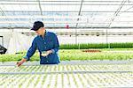 Senior man worker in hydroponics greenhouse
