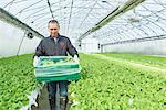 Senior man picking stem lettuce