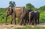 Group of Asian elephants in Udawalawe National Park, Sri Lanka, Asia