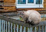 Portrait of blue eyed cat sitting on garden fence