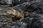 Land Iguana (Conolophus subcristatus) on rocks, South Plaza Island, Galapagos Islands, Ecuador