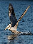 Adult brown pelican (Pelecanus occidentalis) taking flight on the Homosassa River, Florida, United States of America, North America