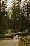 Man driving camper van under fallen sequoia tree, Sequoia National Park, California, USA