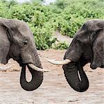 Elephants face to face, on the road to Okavango Delta, Botswana