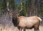 Bull Elk (Wapiti) (Cervus canadensis) in autumn willows, Jasper National Park, UNESCO World Heritage Site, Alberta, Canada, North America