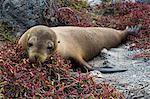 Portrait of a Galapagos sea lion (Zalophus californianus wollebaeki), South Plaza Island, Galapagos Islands, UNESCO World Heritage Site, Ecuador, South America