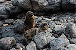 Galapagos Sea Lion (Zalophus californianus wollebaeki), South Plaza Island, Galapagos Islands, UNESCO World Heritage Site, Ecuador, South America